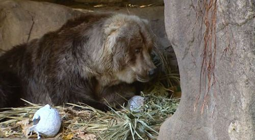 Bethel the Kodiak brown bear, celebrating birthday in Australia